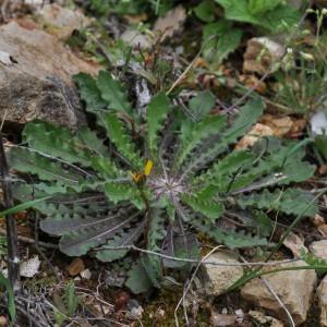 Leontodon saxatilis subsp. rothii