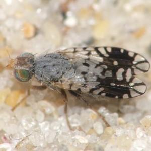 Actinoptera meigeni