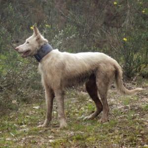 Cão arraçado de podengo usado na caça ao javali © Ricardo Ramos da Silva