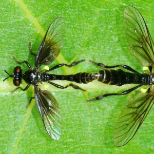 Dioctria gagates