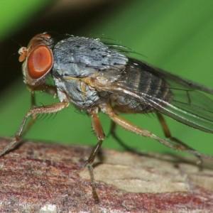 Prosopomyia pallida