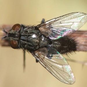 Buquetia musca