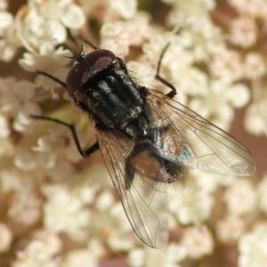 Musca autumnalis