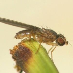 Anthomyza collini
