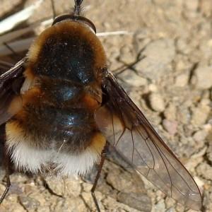 Bombylius cruciatus