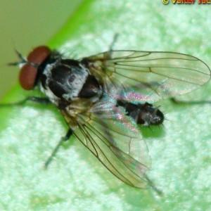 Anthomyia quinquemaculata