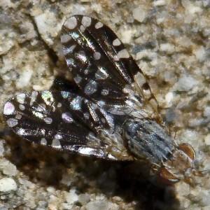 Spathulina sicula