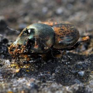 Onthophagus vacca