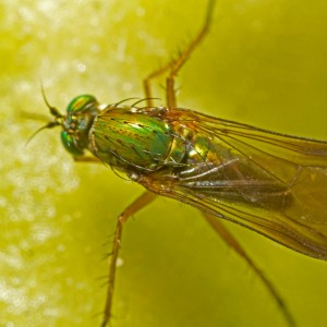 Poecilobothrus nobilitatus