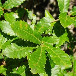 Quercus canariensis