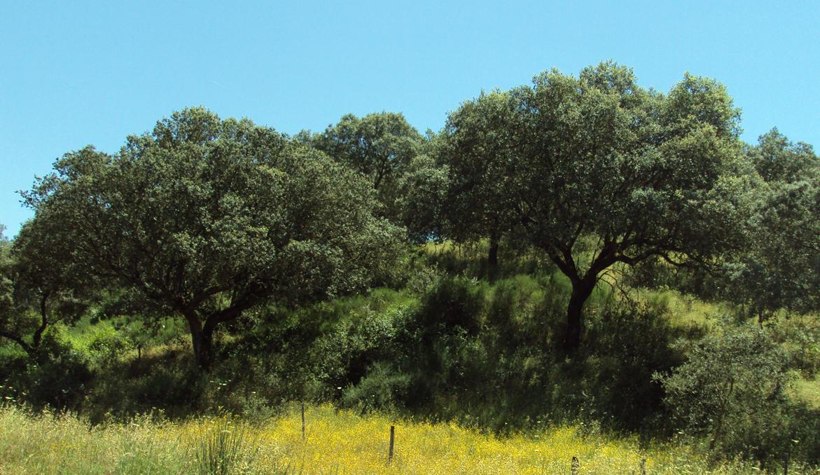 Hábito de árvore explorada em montado © Ricardo Ramos da Silva