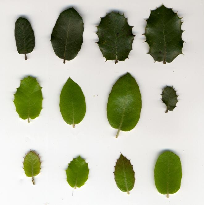 Variação foliar numa mesma planta © Ricardo Ramos da Silva