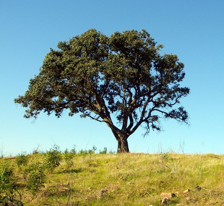 Árvore conduzida © Valter Jacinto