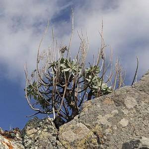 Euphorbia piscatoria