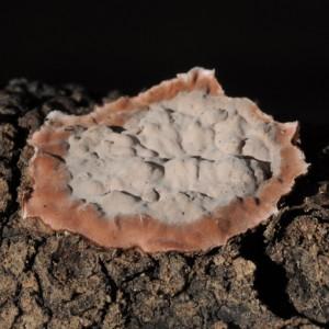 Peniophora pini