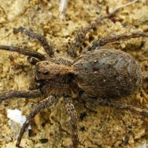 http://naturdata.com/images/species/12000/Alopecosa-albofasciata-12996-143025448133854-tb.jpg