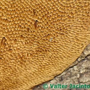 Daedaleopsis nitida
