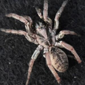 http://naturdata.com/images/species/12000/Nemesia-athiasi-12956-131689388899543-tb.jpg