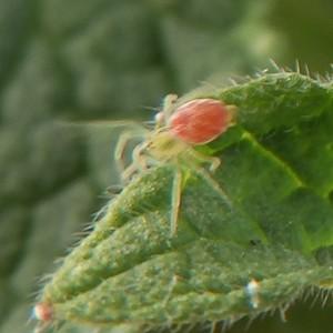 Nigma hortensis
