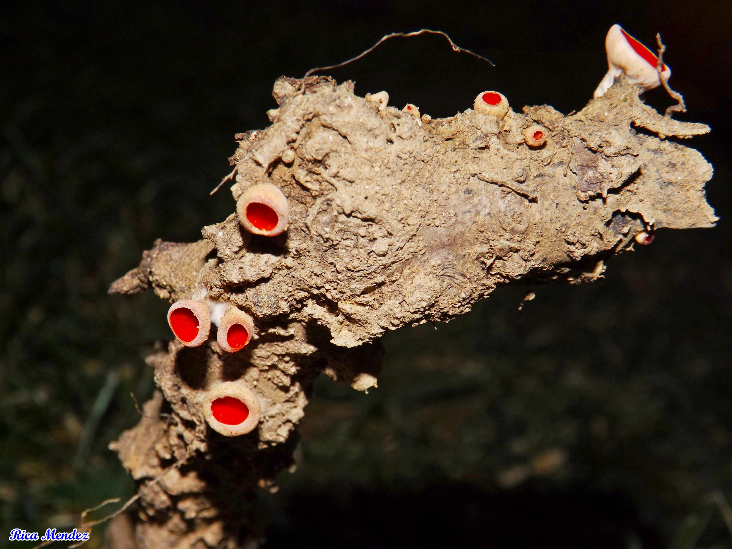 Espécie saprófita de ramos secos de árvores. © Ricardo Mendes