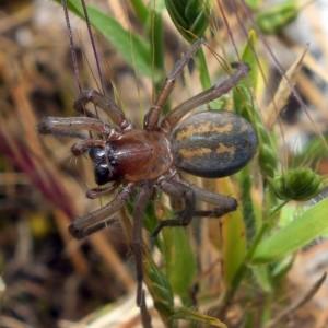 http://naturdata.com/images/species/12000/Tegenaria-bucculenta-12917-137373365532988-tb.jpg