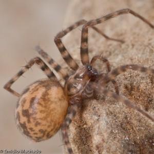 http://naturdata.com/images/species/12000/Tegenaria-ramblae-12904-137903031932520-tb.jpg