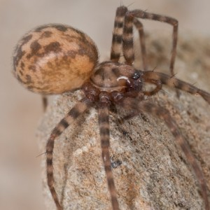 http://naturdata.com/images/species/12000/Tegenaria-ramblae-12904-137903032446930-tb.jpg