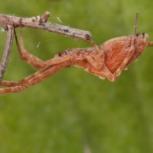 http://naturdata.com/images/species/12000/Uloborus-walckenaerius-12973-135022537690398-tb.jpg