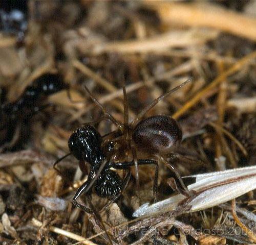 Fêmea a predar uma formiga © Pedro Cardoso