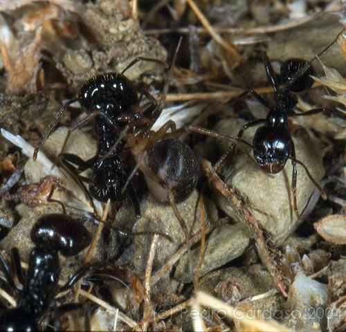 Fêmea a predar formigas © Pedro Cardoso