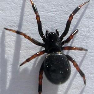 Asagena phalerata