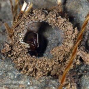 Zodarion styliferum