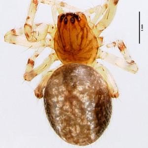 Lathys dentichelis
