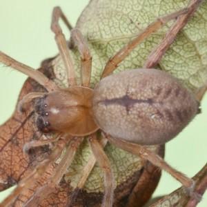 Cheiracanthium striolatum