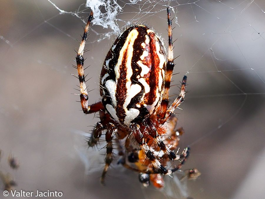 Alimenta-se de insectos, principalmente de voadores como borboletas ou moscas. © Valter Jacinto