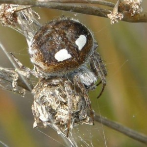 http://naturdata.com/images/species/13000/Agalenatea-redii-13053-14277267992987-tb.jpg