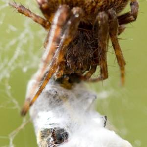 http://naturdata.com/images/species/13000/Agalenatea-redii-13053-143051739773276-tb.jpg
