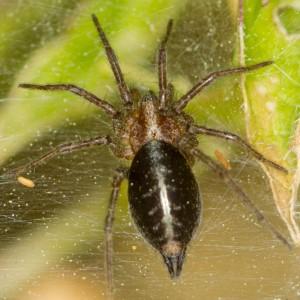 http://naturdata.com/images/species/13000/Agelena-labyrinthica-13303-143349775877202-tb.jpg