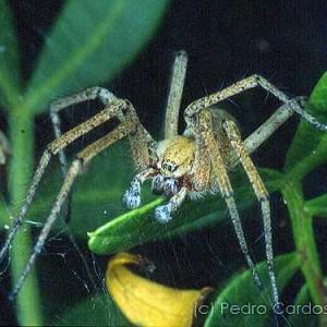 http://naturdata.com/images/species/13000/Agelena-labyrinthica-13303-144106269179294-tb.jpg