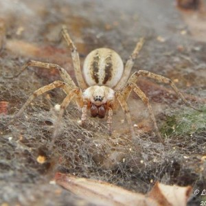 http://naturdata.com/images/species/13000/Agelena-labyrinthica-13303-144187358439043-tb.jpg