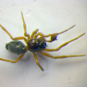 Araeoncus humilis