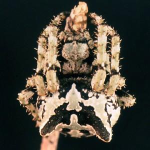 http://naturdata.com/images/species/13000/Araneus-angulatus-13052-132075734620370-tb.jpg