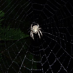 http://naturdata.com/images/species/13000/Araneus-angulatus-13052-135383692232563-tb.JPG