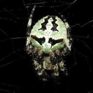 http://naturdata.com/images/species/13000/Araneus-angulatus-13052-14395889157535-tb.jpg