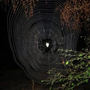 http://naturdata.com/images/species/13000/Araneus-angulatus-13052-143958891768567-tb.jpg