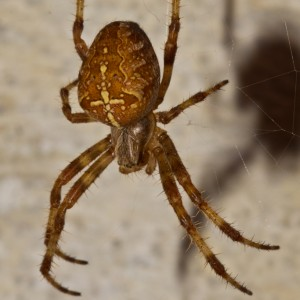 http://naturdata.com/images/species/13000/Araneus-diadematus-13051-132008246839105-tb.jpg