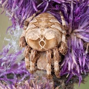 Araneus grossus