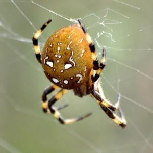http://naturdata.com/images/species/13000/Araneus-quadratus-13045-136873639126397-tb.jpg