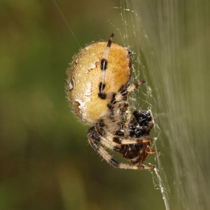 http://naturdata.com/images/species/13000/Araneus-quadratus-13045-139133802636255-tb.jpg