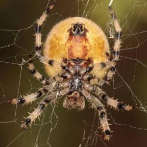 http://naturdata.com/images/species/13000/Araneus-quadratus-13045-139133802887837-tb.jpg